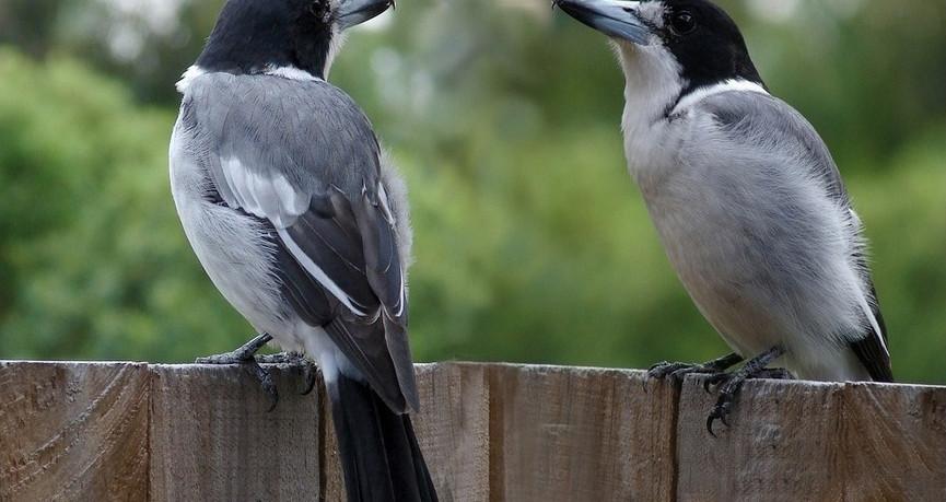 Grey Butcherbirds in a Brisbane garden