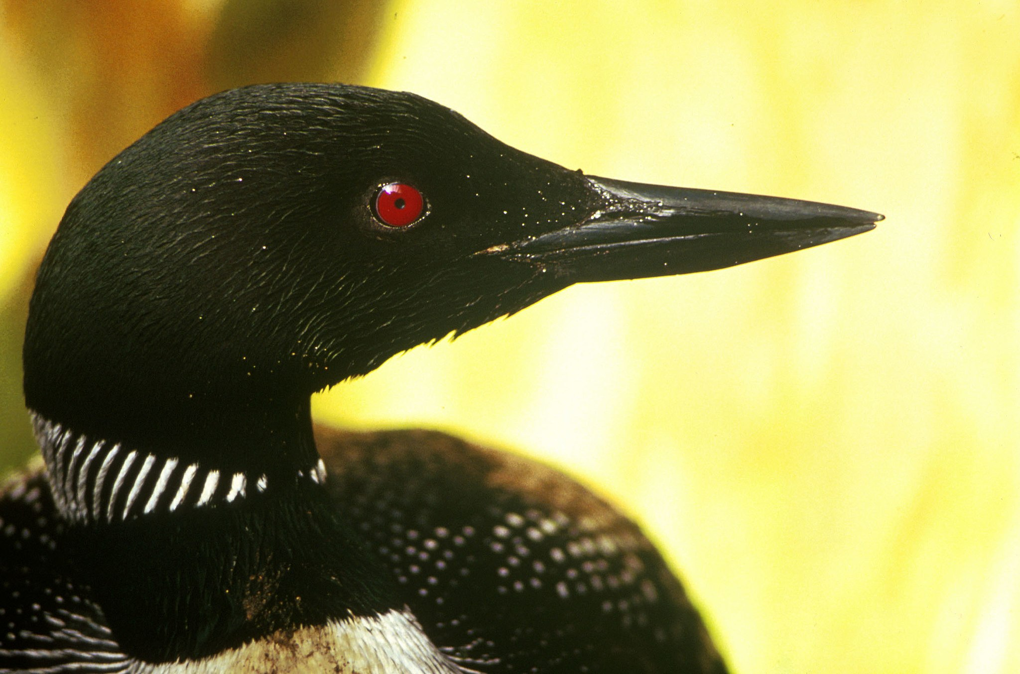 The head of a Common Loon (''gavia immer'').