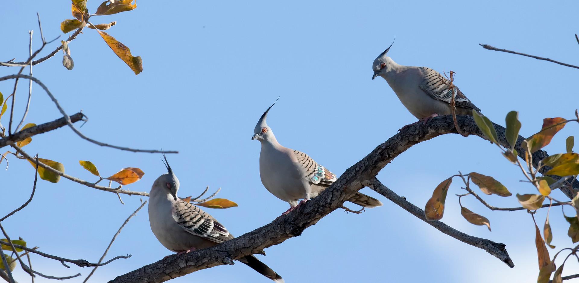 Three Crested Pigeons