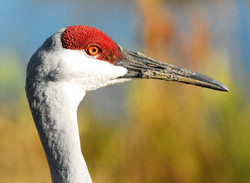 Sandhill Crane at Lake Woodruff National Wildlife Refuge in Florida