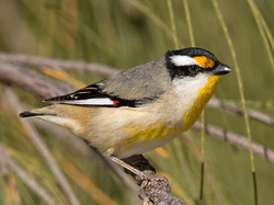 Striated Pardalote.(c)Bruce Mcnaughton .
