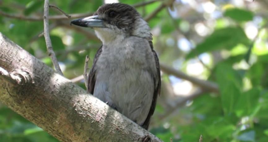 Young Grey Butcherbird