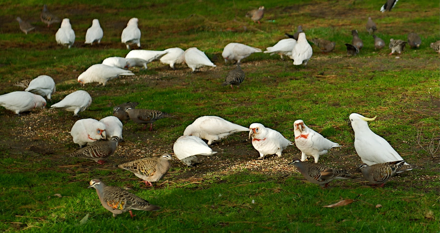 Sulphur-crested Cockatoo amongst feeding Corellas and doves, Melbourne