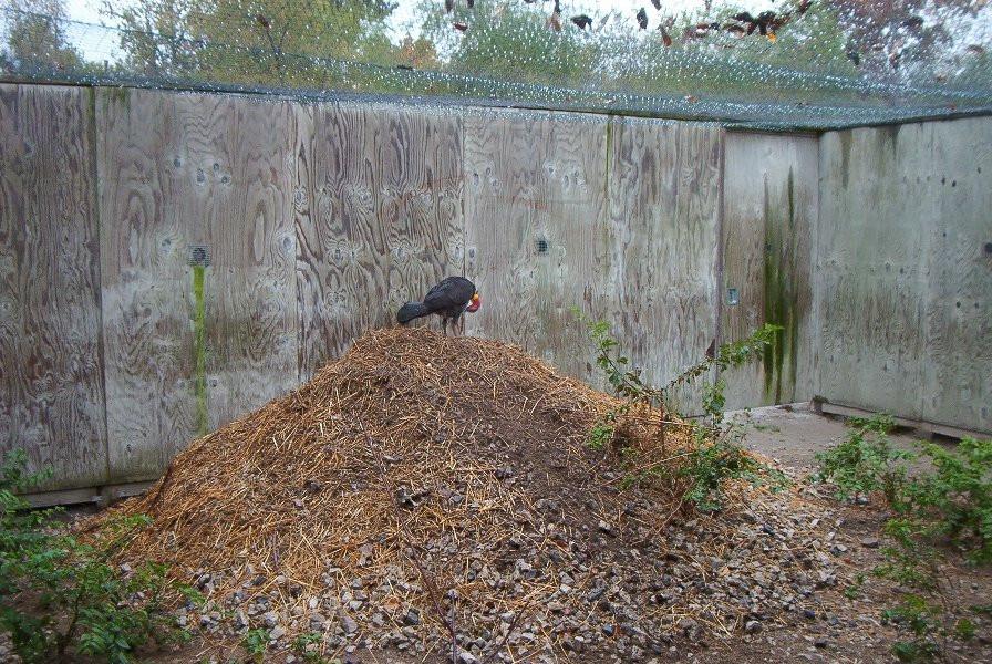 Adult male Australian Brush-turkey on mound