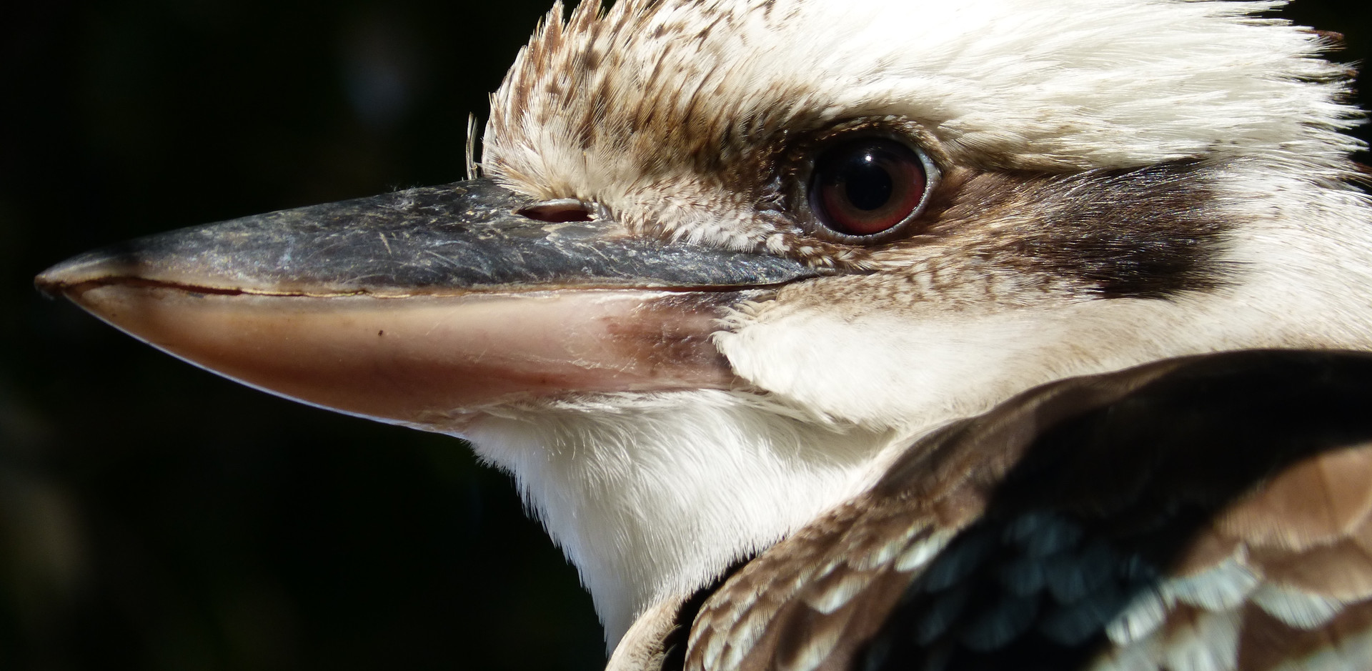 Adult Laughing Kookaburra
