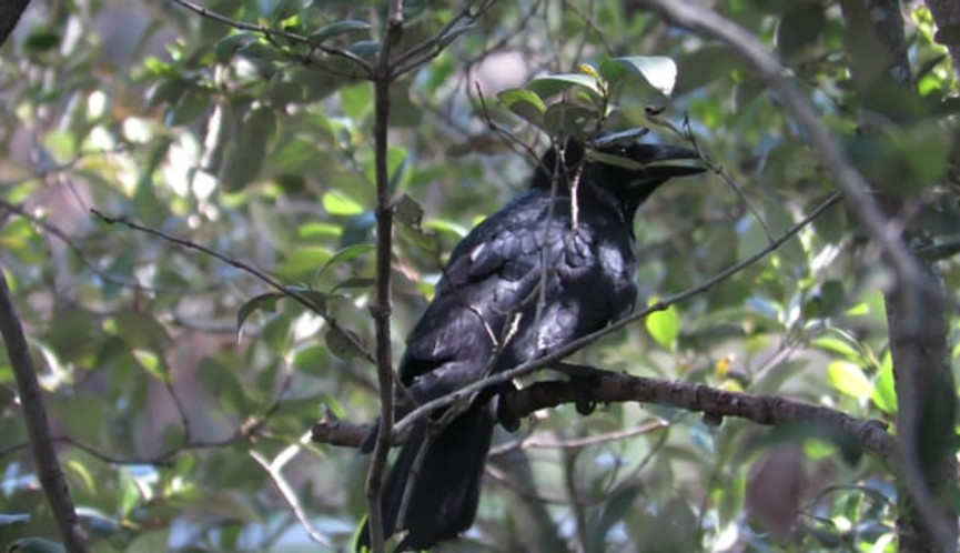 Torresian Crow being mobbed by Willie Wagtail