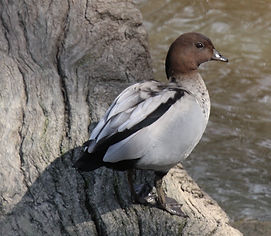 Australian Wood Duck. NH.jpg