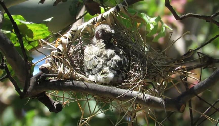 Australasian Figbird chick preening in nest