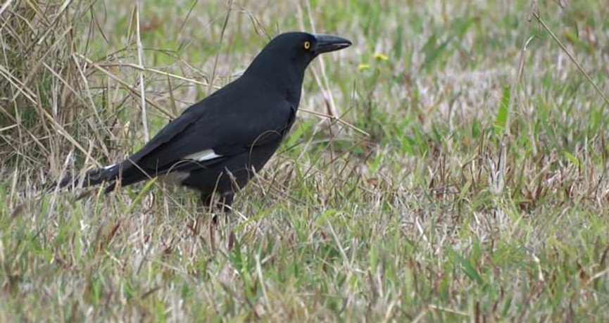 Pied Currawong foraging