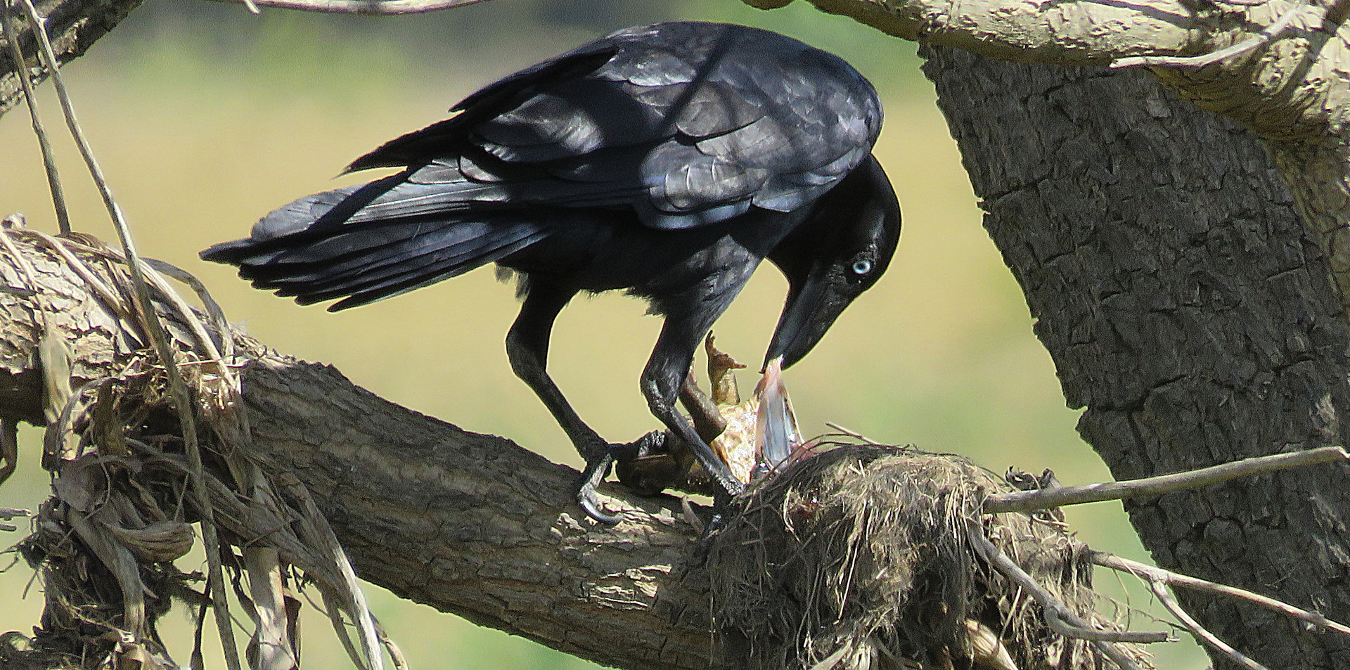 Adult Torresian Crow feeding on cane toad