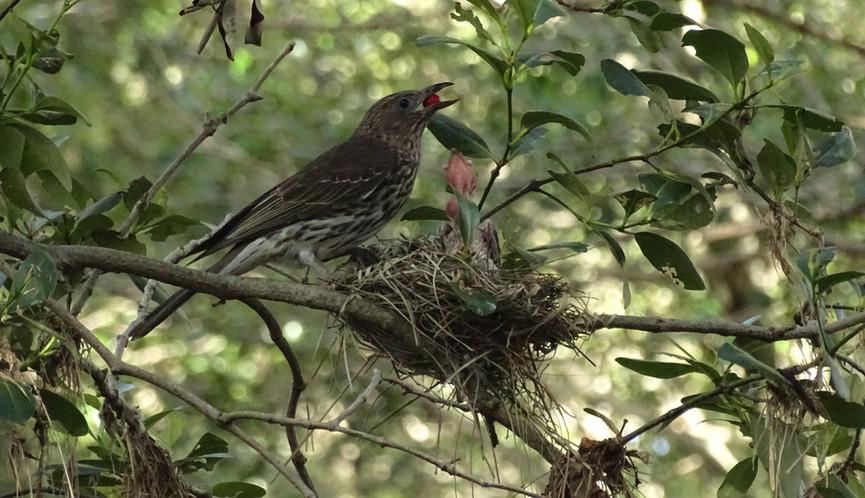 Female tends the nest