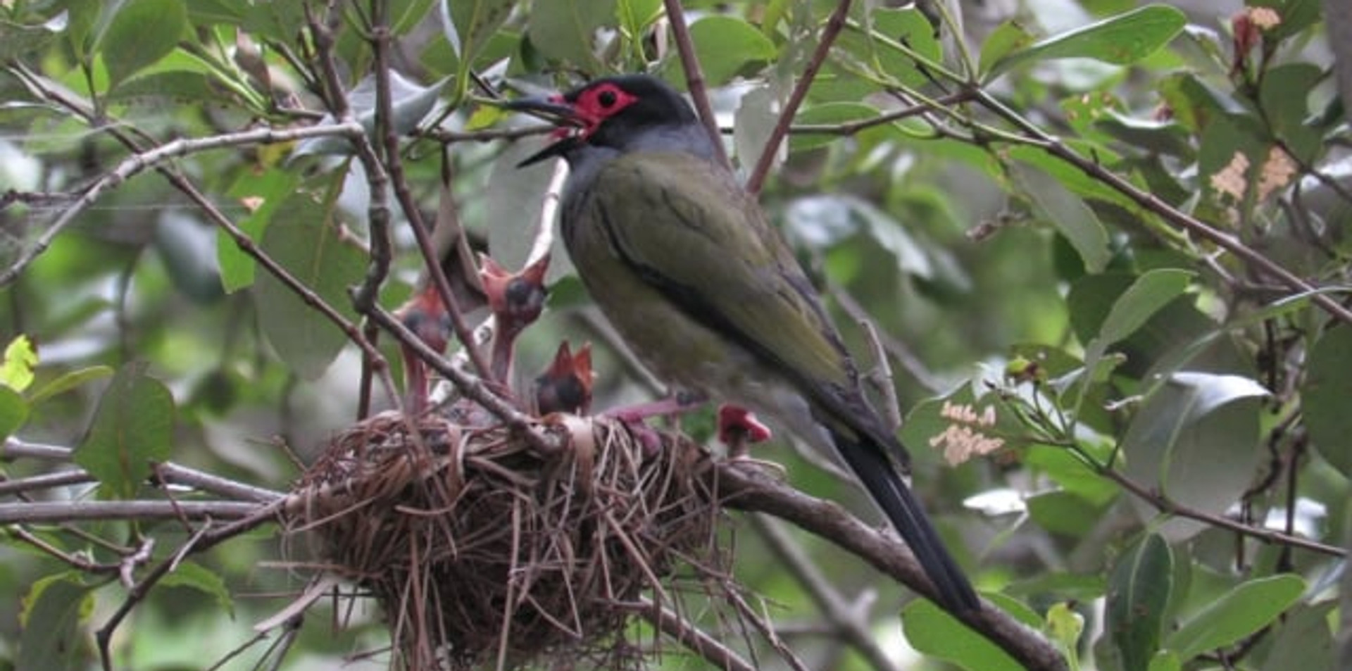 Male Australasian Figbird with chicks