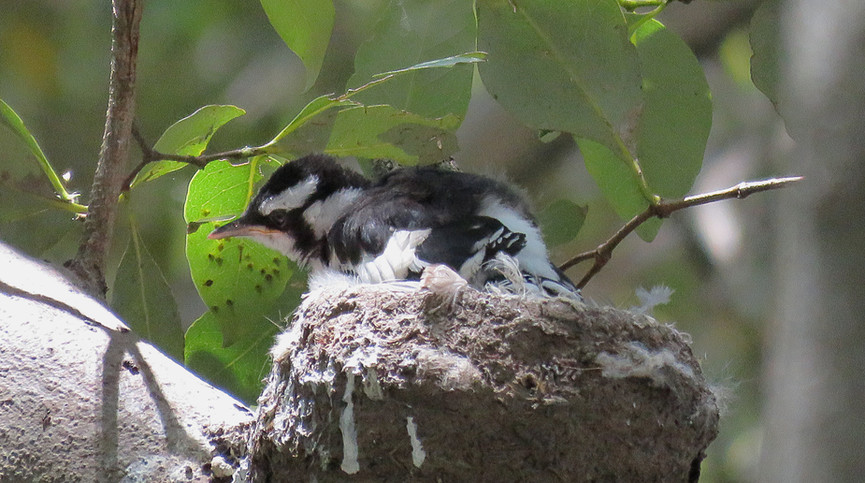 Fledged Magpie-lark chick in the nest