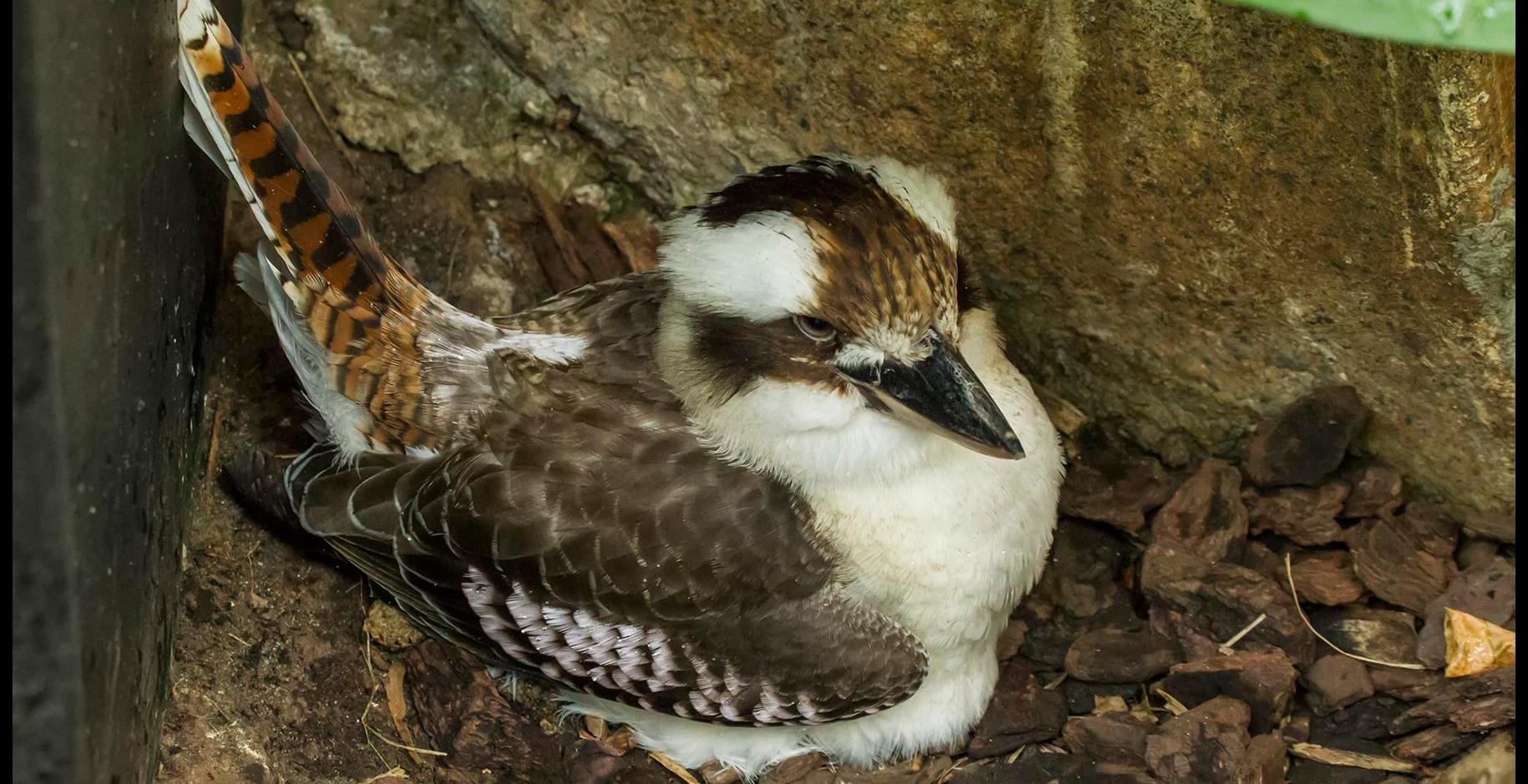 Female kookaburra on nest