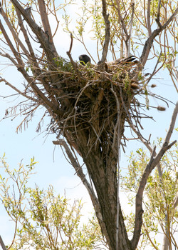 A redtail hawk nests on the Ladd Marsh Wildlife Area