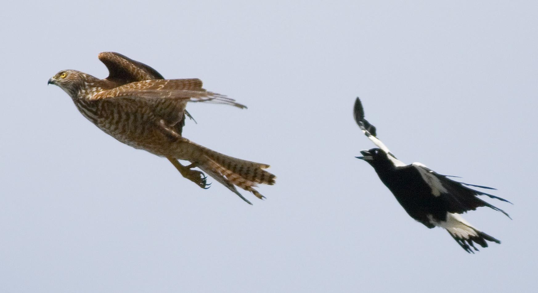 Australian Magpie chasing Brown Goshawk