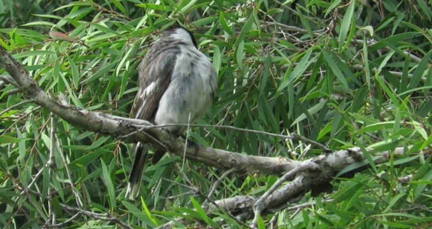 Grey Butcherbird preening