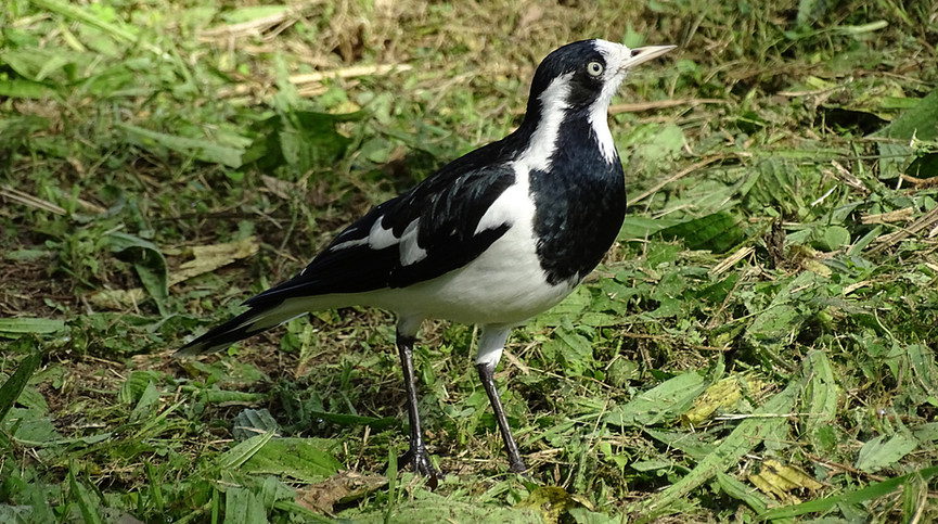 Adult female Magpie-lark. The female has a white throat and no white eyebrow.