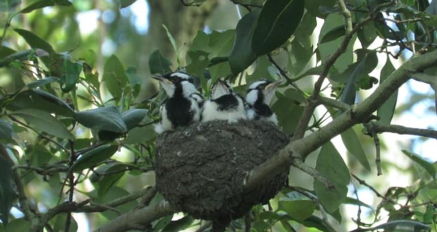 Magpie-lark feeding chicks at nest