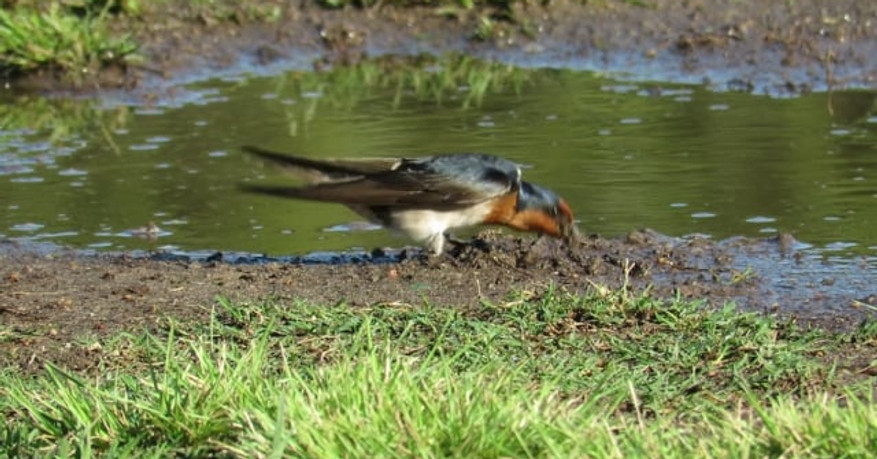 Welcome Swallow gathering nesting material