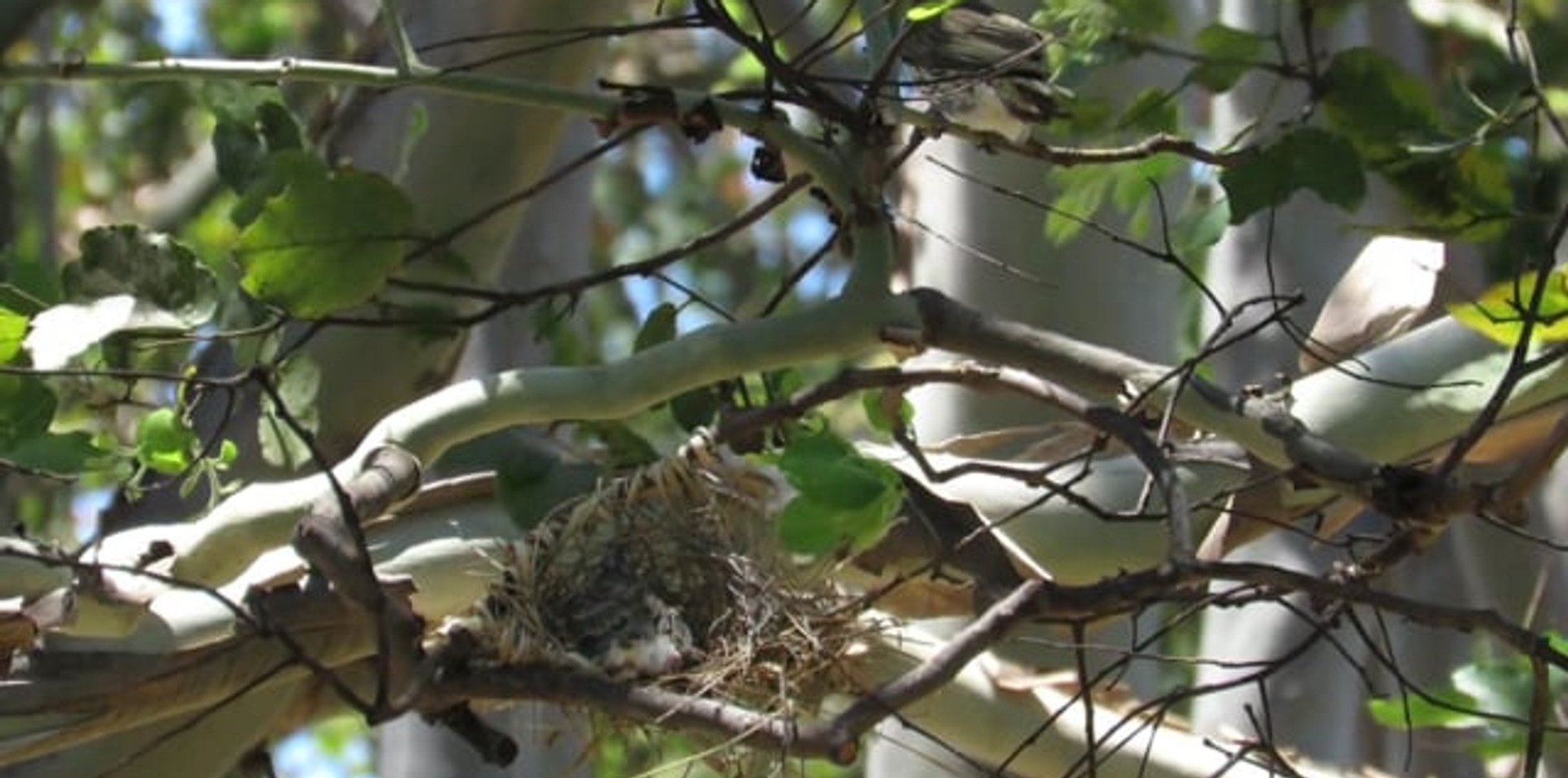 Female Australasian Figbird and chick