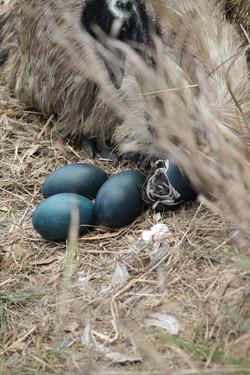 Male watching chicks hatch - Virginia NT Australia