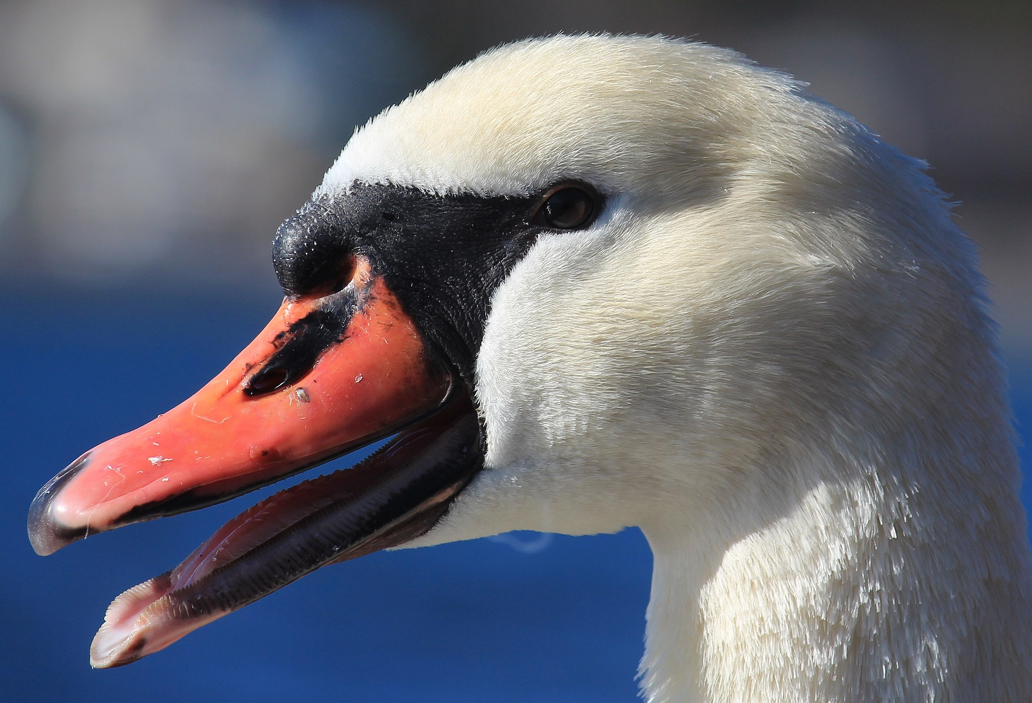 Beak of Mute Swan (Cygnus olor) in Lake Yamanaka, Yamanashi prefecture, Japan.