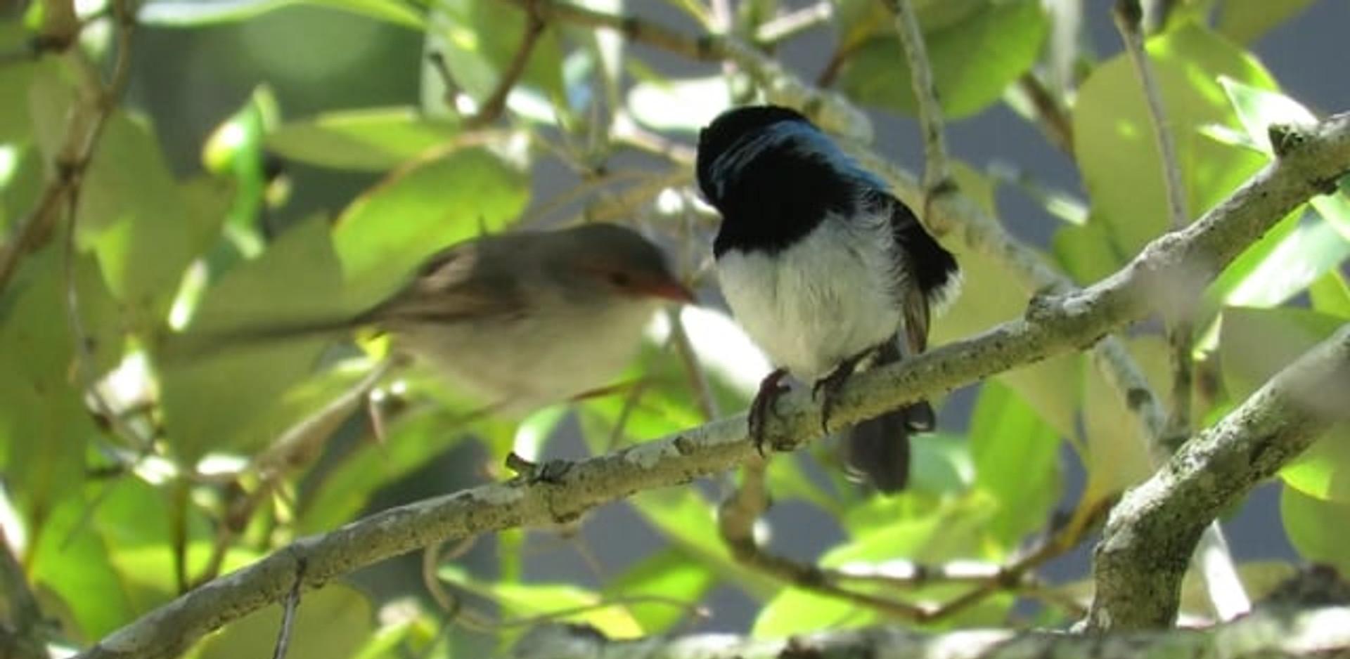 Breeding pair of Superb Fairy-wrens