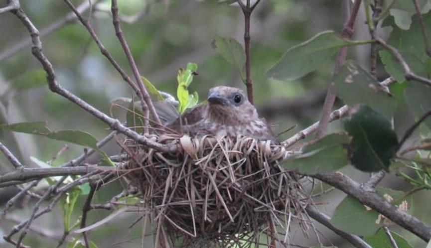 Adult female Australasian Figbird sitting on nest