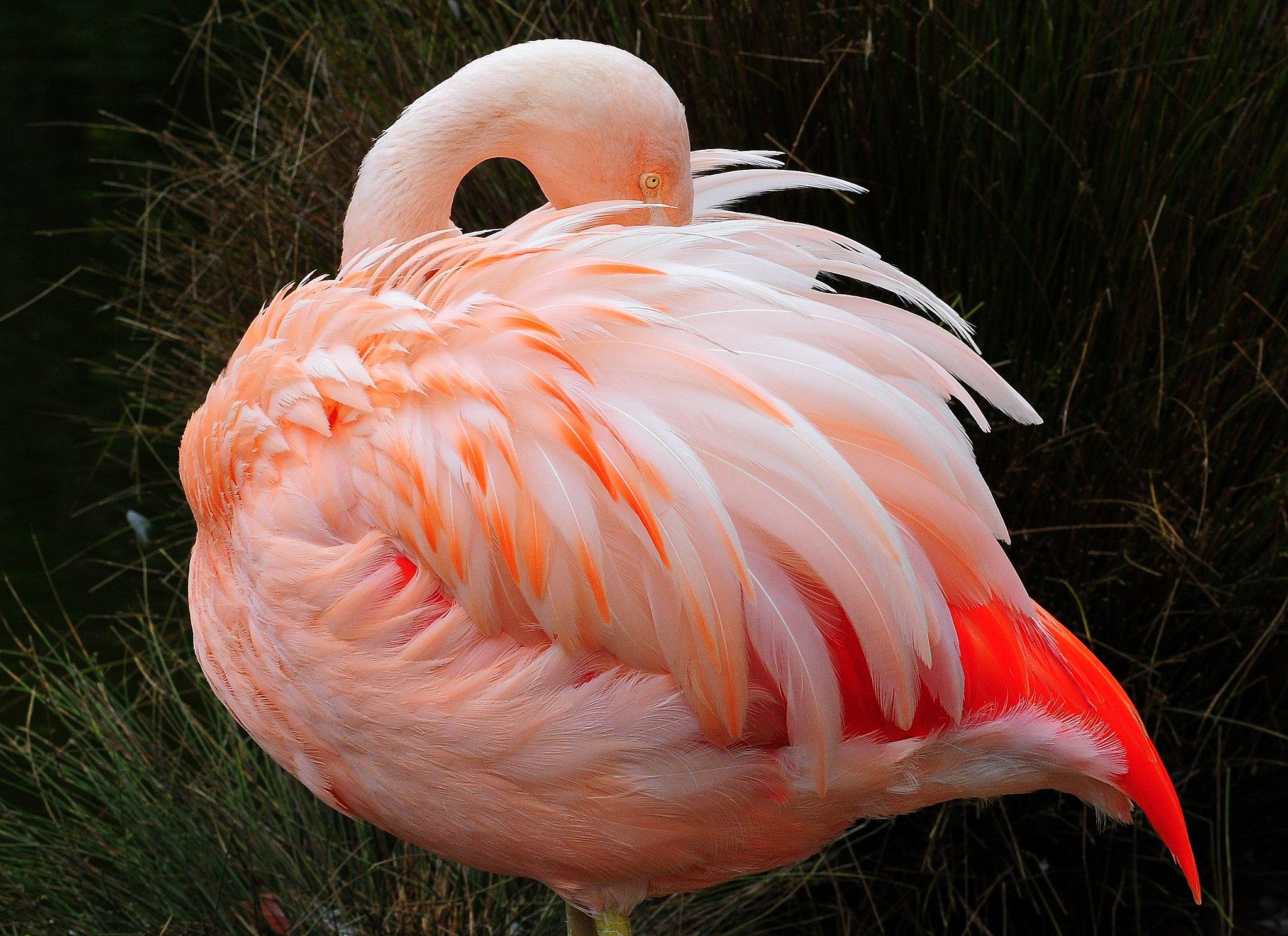 A pink flamingo at the San Francisco Zoo in San Francisco, California, USA.