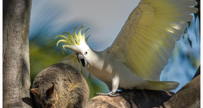 Sulphur-crested Cockatoo and possum