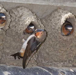 Cliff Swallows in Cayucos, California, USA. The nests were built on the bridge over Cayucos Creek.