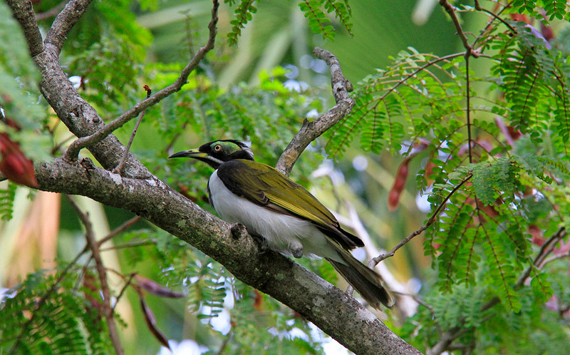 Blue-faced Honeyeater at Fogg Dam, Middle Point, Northern Territory