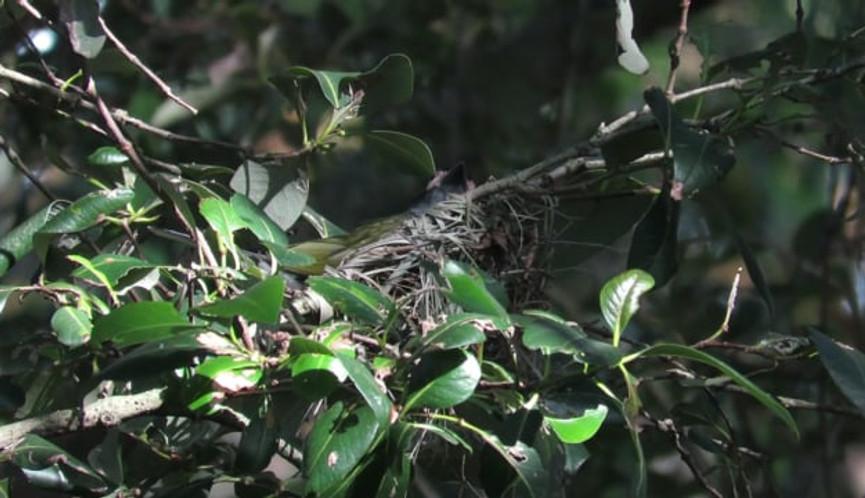 Australasian Figbird parents taking turns sitting on the nest
