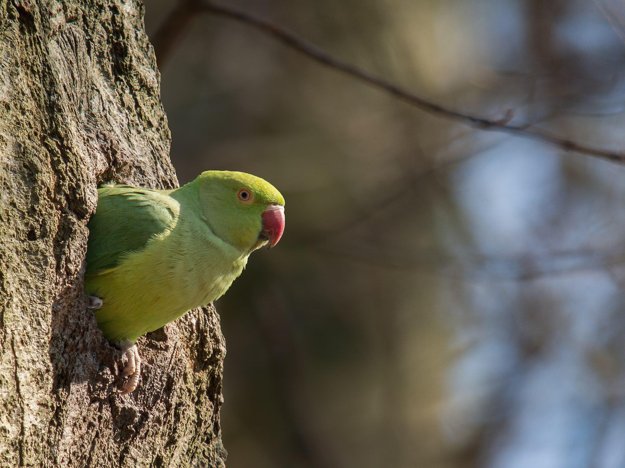 Rose-ringed Parakeet (Psittacula krameri) at Parc de Woluwe, Brussels, Belgium.
