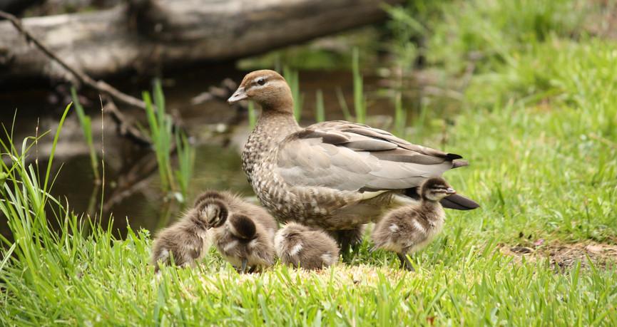 Female Australian Wood Duck and ducklings