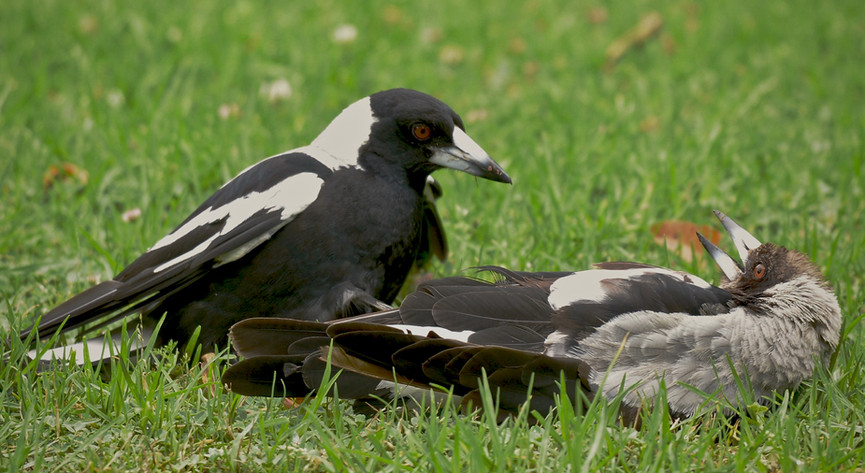 Adult Australian Magpie with young