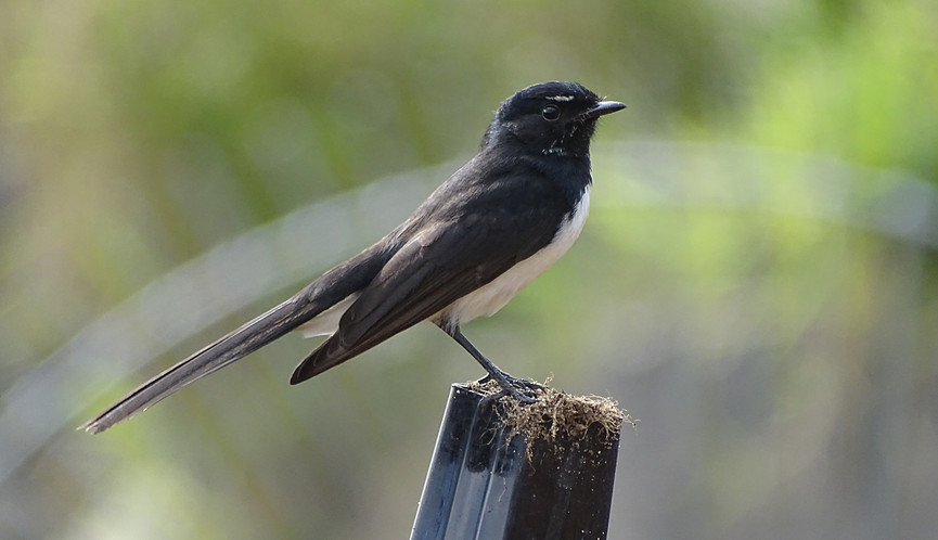 Adult Willie Wagtail