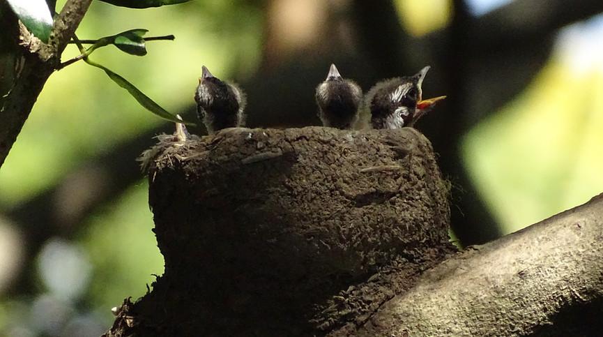 Magpie-lark chicks in nest
