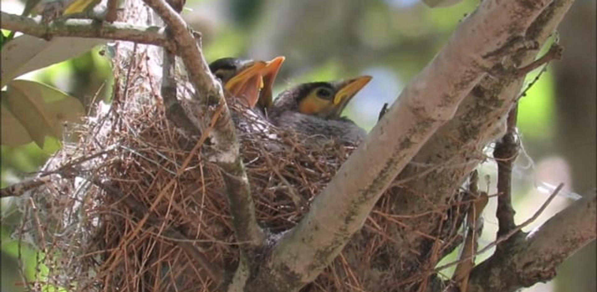 Noisy Miner nestlings