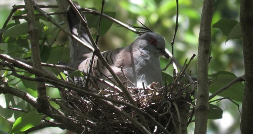 Adult Crested Pigeon with chicks on the nest