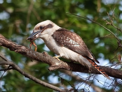 Wild Laughing Kookaburra with a frog in its beak at St Ives Village Green, suburban Sydney, Australi