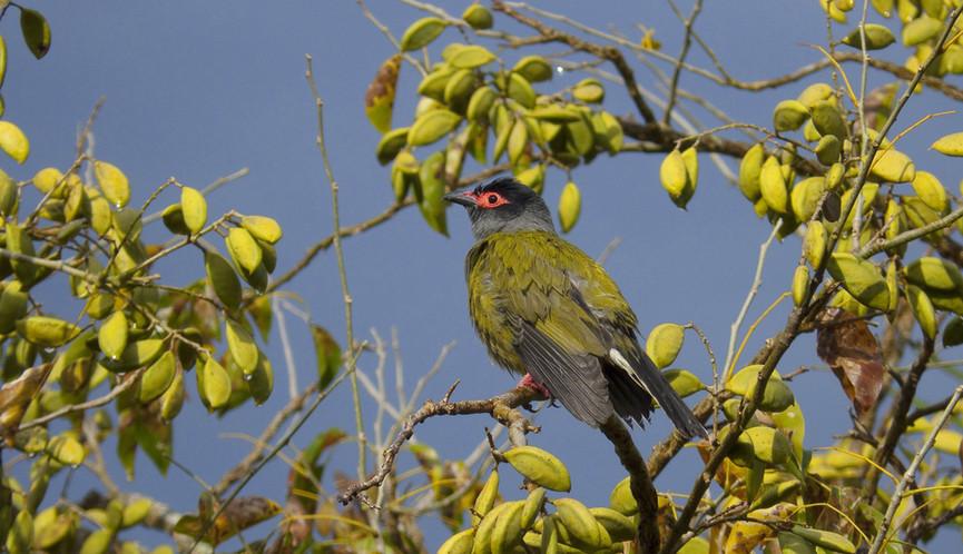 Adult male Australasian Figbird