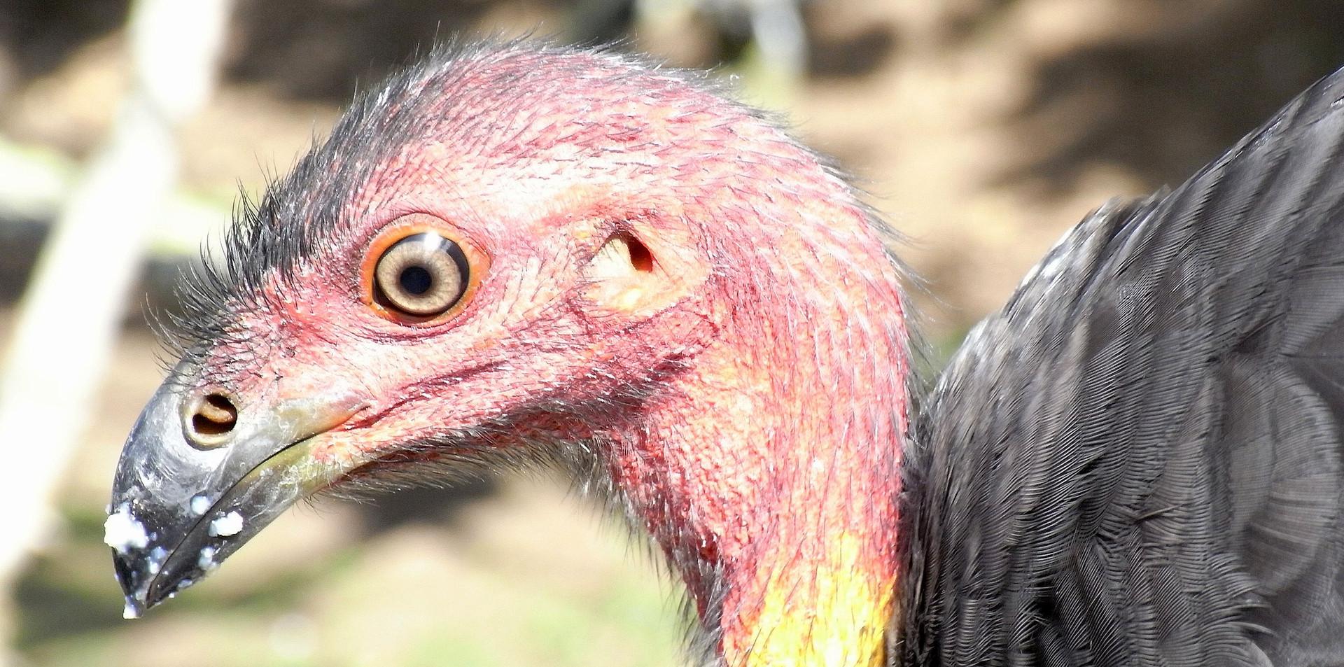 Adult Australian Brush-turkey face
