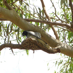 Nest. Black-faced Cuckoo-shrike