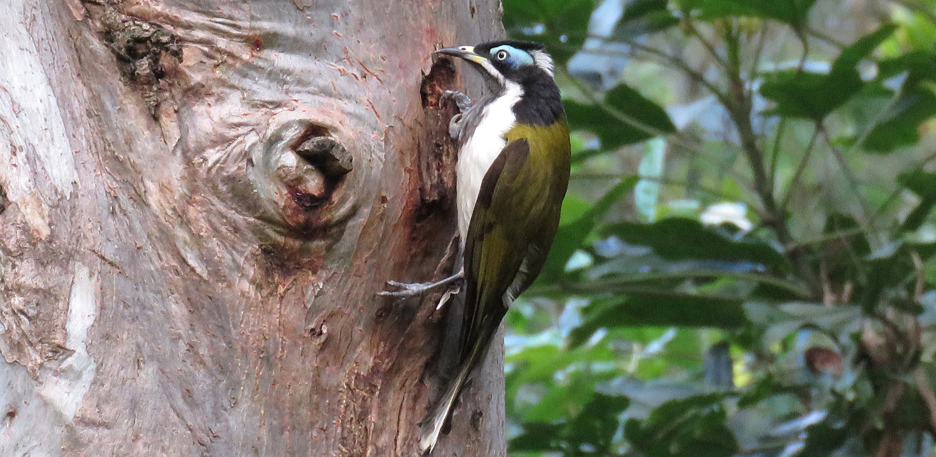 Adult Blue-faced Honeyeater