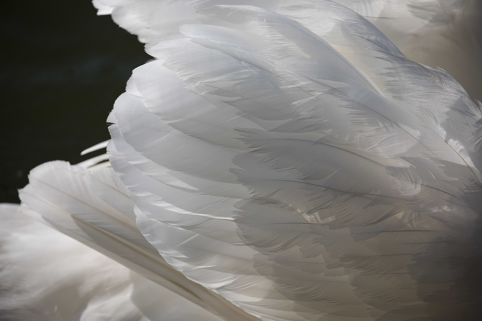 Cygnus wing feathers in the sun