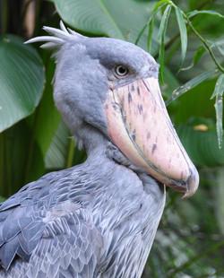 Shoebill, Jurong Bird Park, Singapore