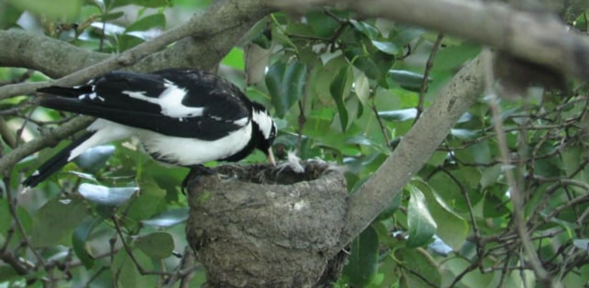 Magpie-larks feeding chicks at nest