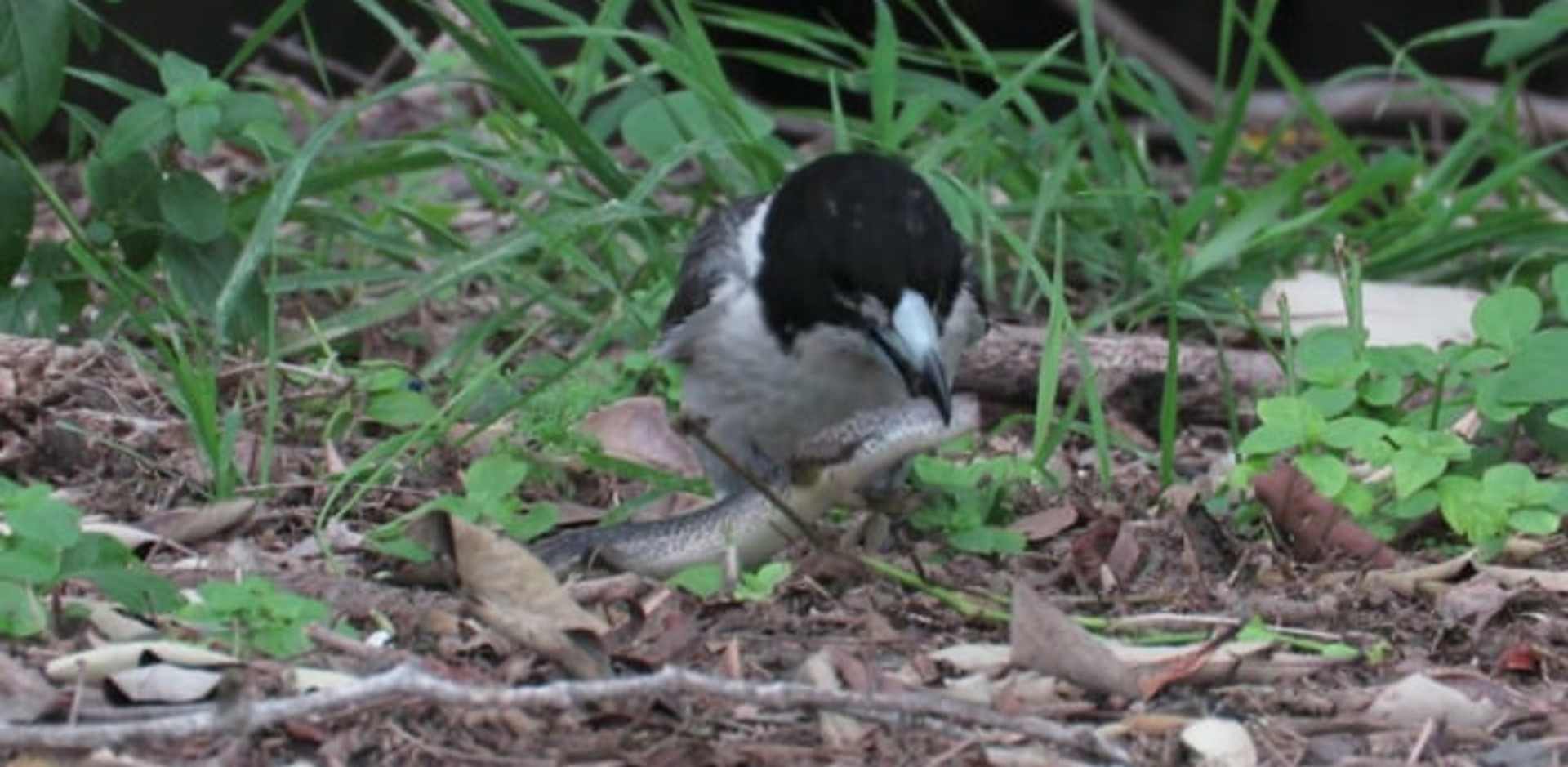 Adult Grey Butcherbird with water skink
